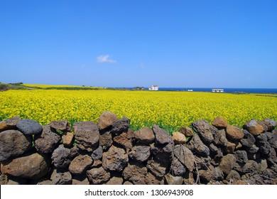 Rape flower field - Jeju island, Korea