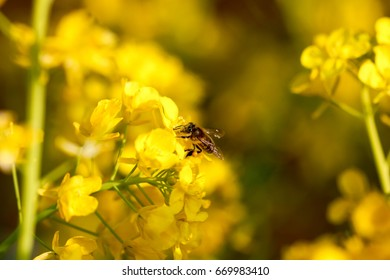Rape flowers and bees