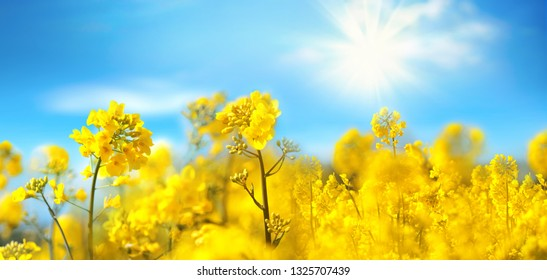 Rape flowers close-up against a blue sky with clouds in rays of sunlight on nature in spring, panoramic view. Growing blossoming rape, soft focus, copy space.