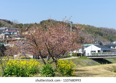 Rape and Kawazu cherry blossoms