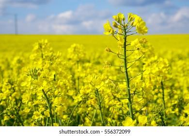 Rape | Landscape | Nature | Background | Plants