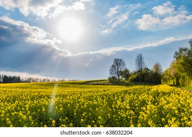 Rape meadow yellow blossoms spring sunlight clouds