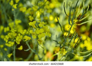 Rape plants
