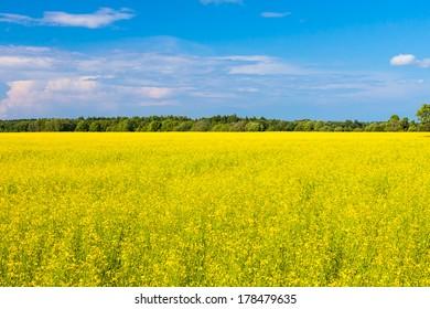 rape seed field with farm house and sky