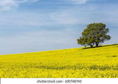 Rape Seed and Oak trees 2