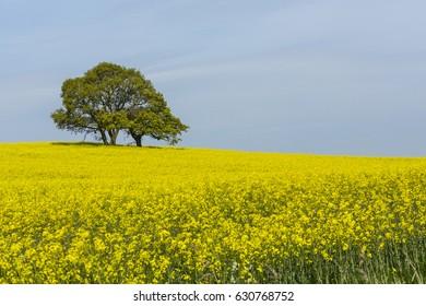 Rape seed and Oak trees