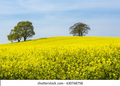 Rape seed and Oak Trees on the hill