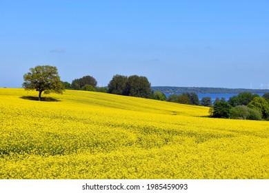 Rape view on Bistensee Lake in Schleswig Holstein Hüttener Berge - Shutterstock ID 1985459093