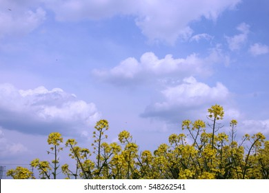 Rape yellow flower, blue sky, scenery of early spring, riverbed, Tone River, Gunma, Japan,