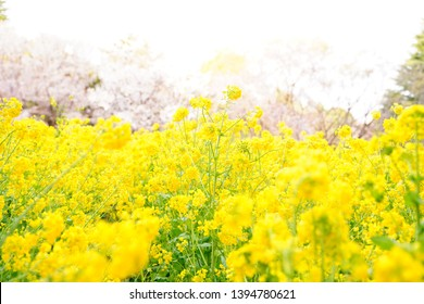 Rape-flowers are blooming at park in Saitama, Japan.