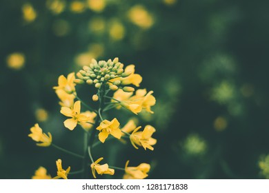 Rapeseed agriculture environment biodiesel