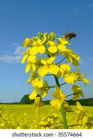 Rapeseed and bee
