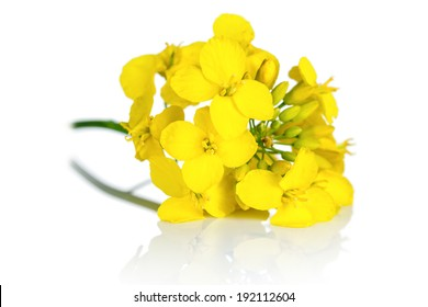 Rapeseed blossom on white background. Brassica napus flowers