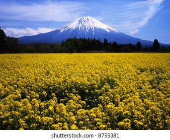 The rapeseed blossoms are in fuji blossom on soring and Mt, fuji