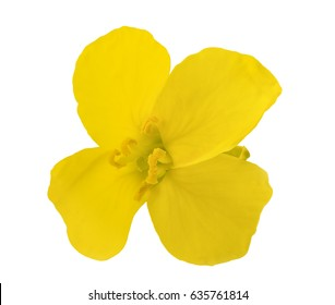 Rapeseed (Brassica napus ) flower head isolated on white