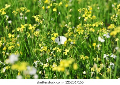 Rapeseed (Brassica napus), rape, oilseed rape is a bright-yellow flowering member of the family Brassicaceae (mustard or cabbage family).