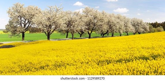 Rapeseed, canola or colza and alley of flowering cherry trees - Brassica Napus - rape seed is plant for green energy and oil industry - spring time view