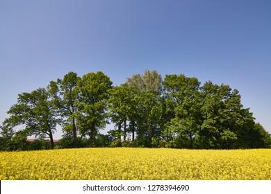 Rapeseed, canola or colza field