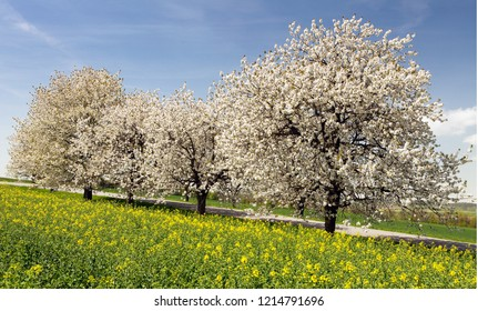 Rapeseed, canola or colza field and alley of flowering cherry trees with beautiful sky - Brassica Napus - rape seed is plant for green energy and oil industry - spring time view