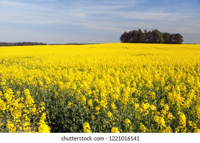 Rapeseed, canola or colza field in Latin Brassica Napus with beautiful cloudy sky, rape seed is plant for green energy and green industry, springtime golden flowering field