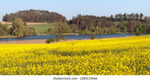 Rapeseed, canola or colza field in Latin Brassica Napus with pond and forest, rape seed is plant for green energy and green industry, springtime golden flowering field