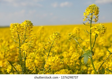 Rapeseed, canola or colza field in Latin Brassica Napus, rape seed is plant for green energy and oil industry, springtime golden flowering field