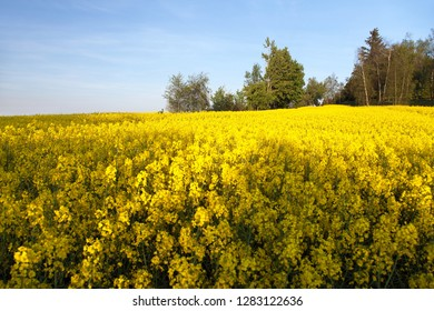 Rapeseed, canola or colza in latin Brassica Napusd is plant for green energy and green industry, Springtime golden flowering field
