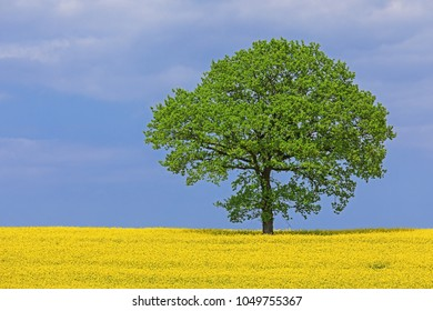 Rapeseed or Canola field with a solitary tree (oak) in Schleswig-Holstein, Germany