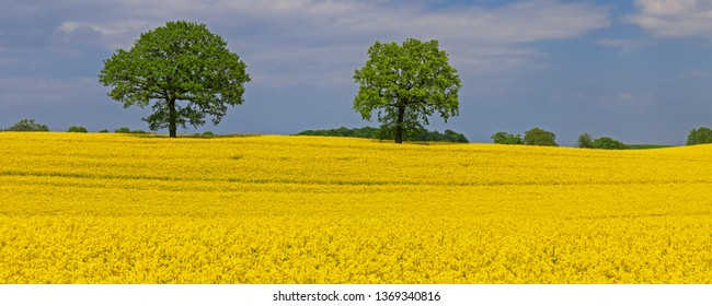 Rapeseed or Canola field with two trees in Schleswig-Holstein, Germany. Spring landscape.