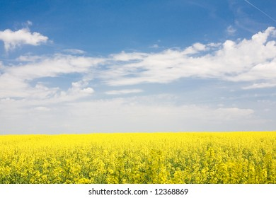 Rapeseed (canola) field under blue sky