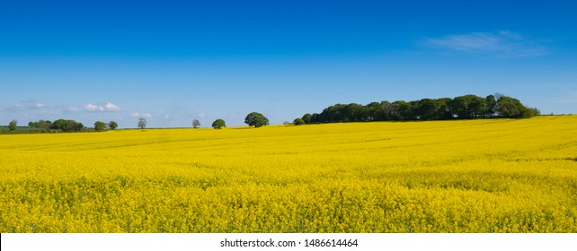 Rapeseed field against blue summer sky, yellow rape seed is used for food and for bio diesel