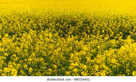 Rapeseed field background