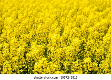 Rapeseed field. Background of rape blossoms. Flowering rape on the field