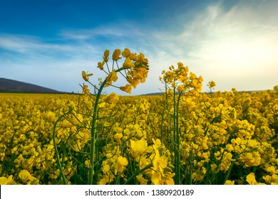 Rapeseed field, Blooming canola flowers close up. Rape on the field in summer. Bright Yellow rapeseed oil. Flowering rapeseed - Image