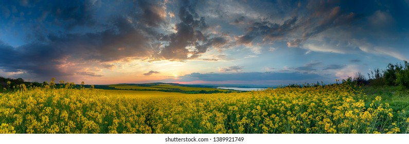 Rapeseed field, Blooming canola flowers close up. Rape on the field in summer. Bright Yellow rapeseed oil. Flowering rapeseed.Panoramic view - Image