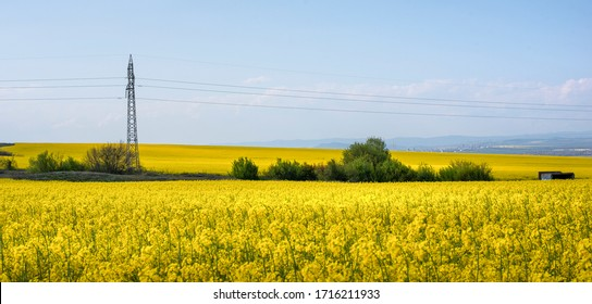 Rapeseed field, Blooming canola flowers panorama. Rape on the field in summer. Bright Yellow rapeseed oil