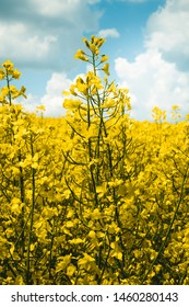 Rapeseed field, Blooming Rapeseed Rapeseed flowers close up.  Flowering rapeseed. Against the blue sky with clouds