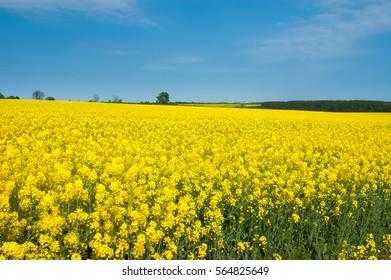 Rapeseed field with blue sky, near Loughborough, England