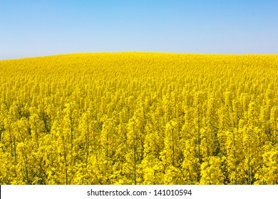 Rapeseed field (Brassica napus) in Catalonia, Spain. These fields are cultivated for  vegetable oil for human consumption, forage and biodiesel.