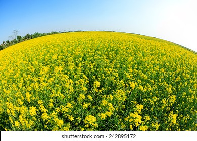 Rapeseed field, Brassica napus (mustard family)
