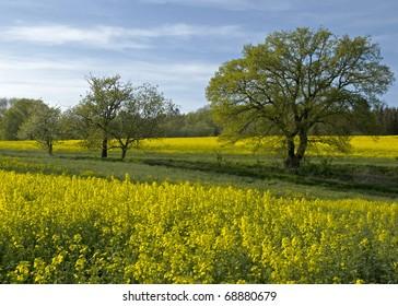 Rapeseed field, Denmark