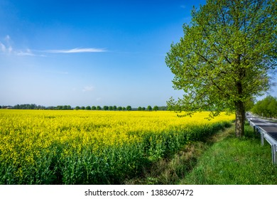 rapeseed field in early summer with tree avenue on the main road