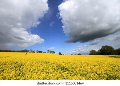 Rapeseed Field, Groombridge, Kent