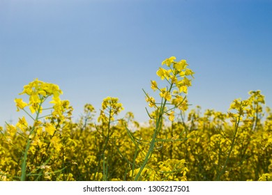 Rapeseed field. Important oilseed; The economic importance of rape by the end of the 20th century has increased significantly due to the fact that it began to be used to produce biodiesel.