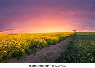 Rapeseed field just after setting sun, Jutland, Denmark.