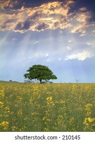 Rapeseed field in Kent, England