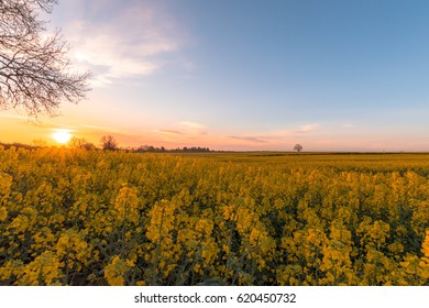 Rapeseed Field in the Morning Sunrise