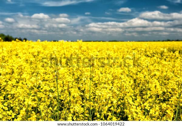 Rapeseed field near Munich