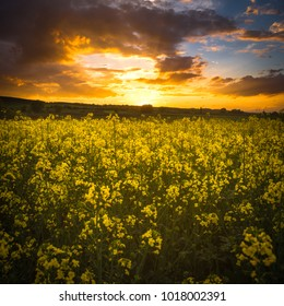 Rapeseed field on sunset / blooming rapeseed field in spring, Hungary