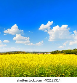 Rapeseed field over perfect blue sky. Nature countryside landscape